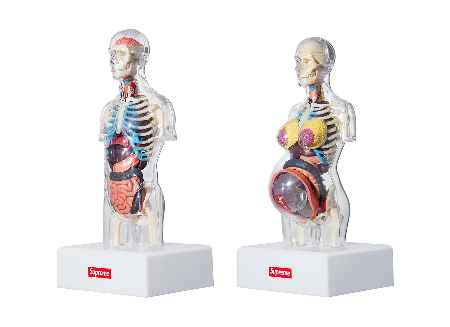 Male and Female Anatomy Model